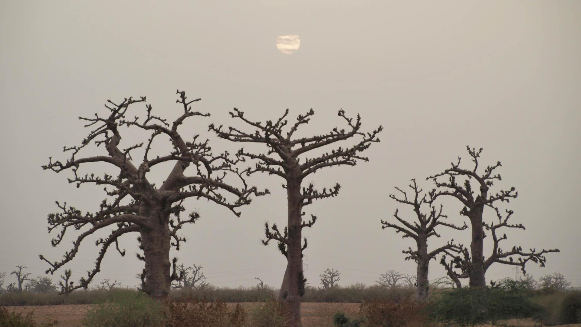 Von_Baobab_zu_Waobab